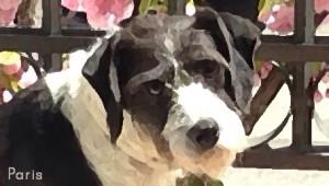 Paris, perra encontrada con miedo severo a las personas y acogida por la Asociación Nueva Vida.