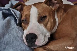 Orión, un perro destinado a las peleas y rescatado por Adriana y Manu. Gracias :-)